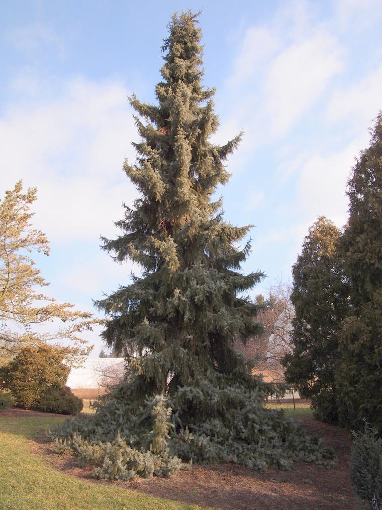 Photo of Weeping Serbian Spruce (Picea omorika 'Pendula') uploaded by frankrichards16