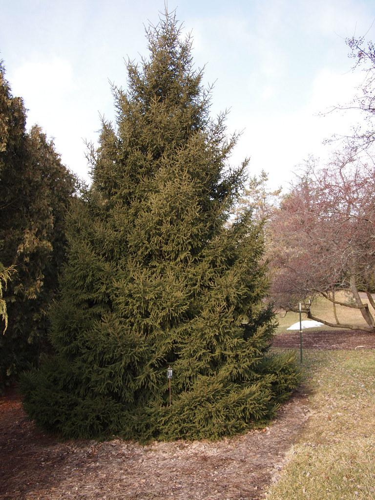 Photo of Spruce (Picea orientalis 'Gracillis') uploaded by frankrichards16
