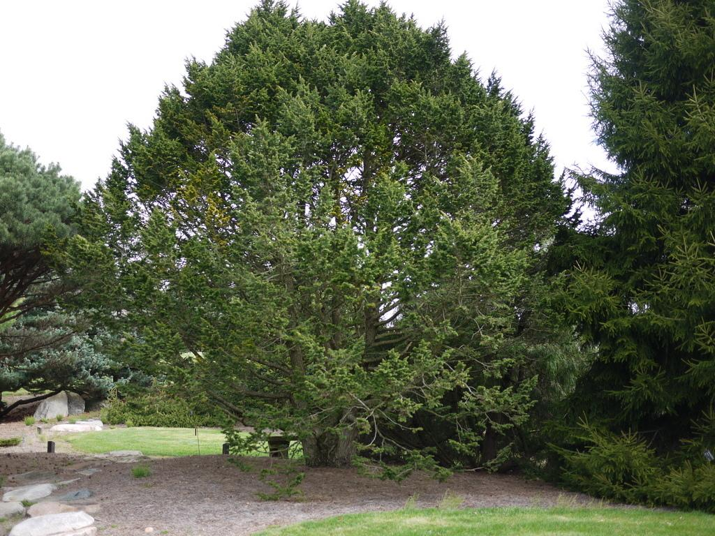 Photo of Tsuga canadensis 'Macrophylla' uploaded by frankrichards16