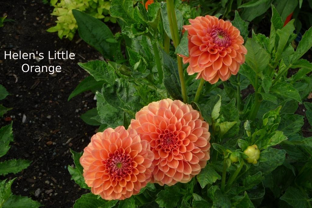 Photo of Dahlia 'Helen's Little Orange' uploaded by frankrichards16