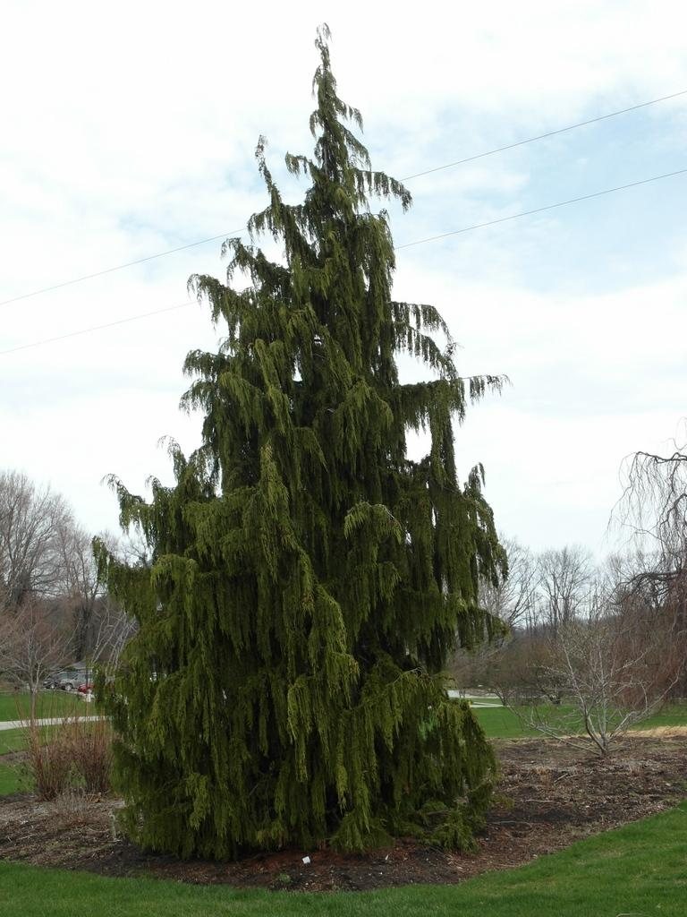 Photo of Weeping Alaska Cedar (Xanthocyparis nootkatensis 'Pendula') uploaded by frankrichards16