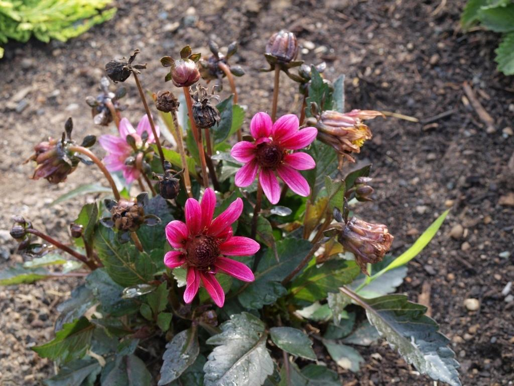 Photo of Dahlia Dark Angels® Pretty Woman uploaded by frankrichards16