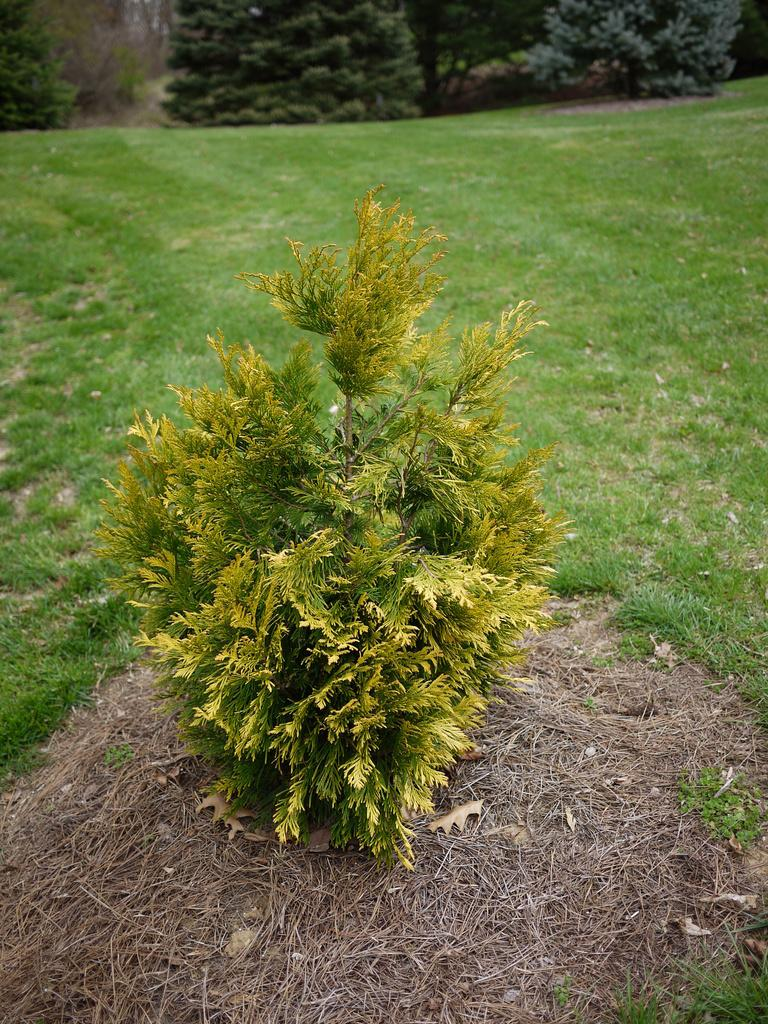 Photo of Western Red Cedar (Thuja plicata '4 Ever Goldy') uploaded by frankrichards16