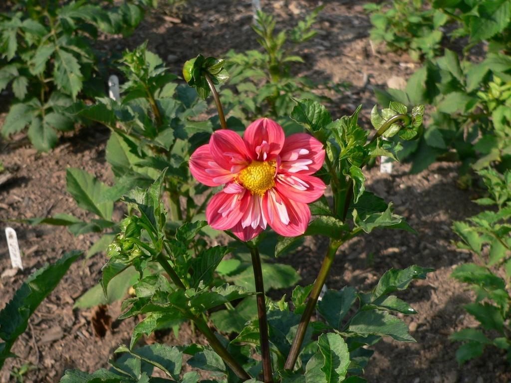 Photo of Collarette Dahlia (Dahlia 'Giggles') uploaded by frankrichards16