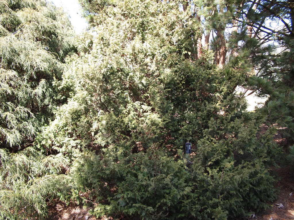 Photo of Sawara False Cypress (Chamaecyparis pisifera 'Nana') uploaded by frankrichards16