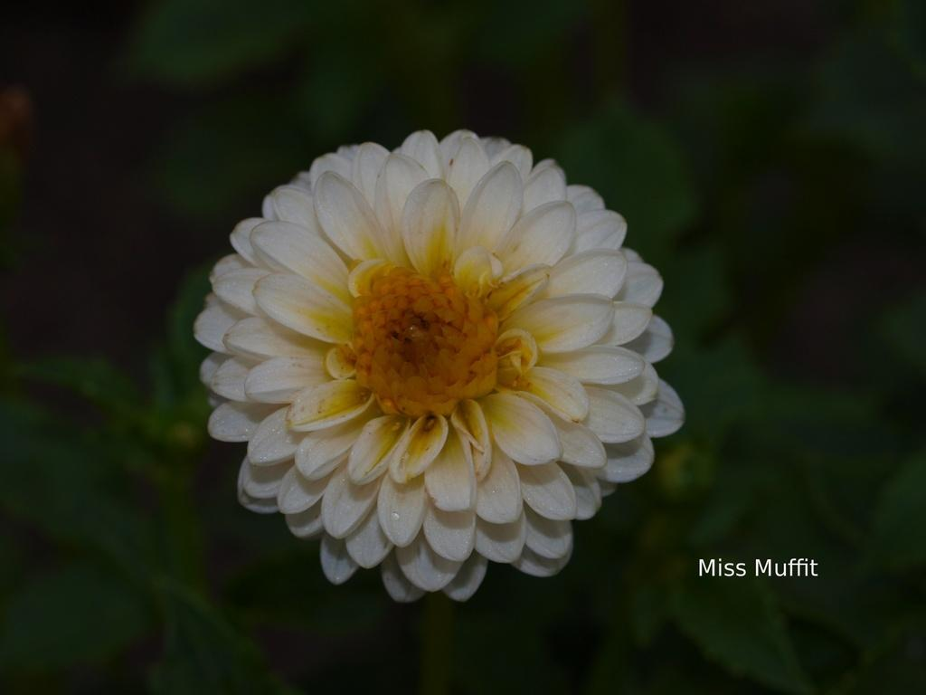 Photo of Dahlia 'Miss Muffit' uploaded by frankrichards16