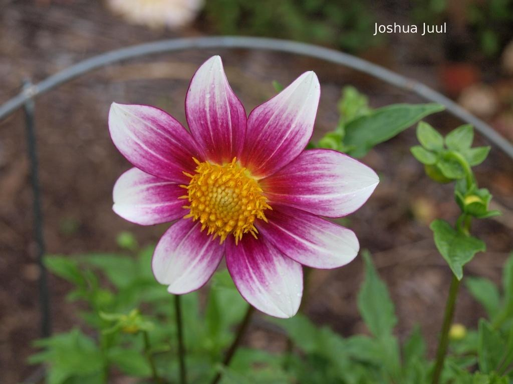 Photo of Dahlia 'Joshua Juul' uploaded by frankrichards16