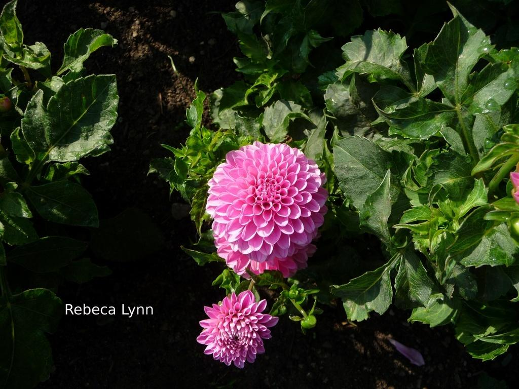 Photo of Ball Dahlia (Dahlia 'Rebecca Lynn') uploaded by frankrichards16