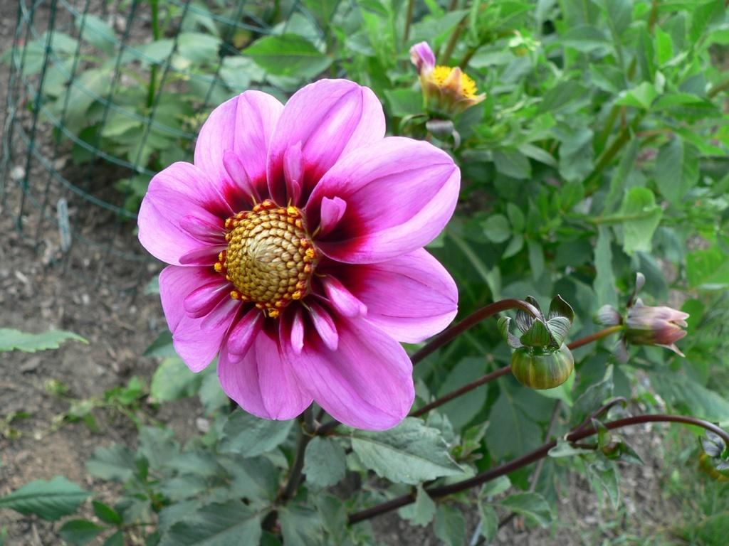 Photo of Dahlia 'Alpen Matthew' uploaded by frankrichards16