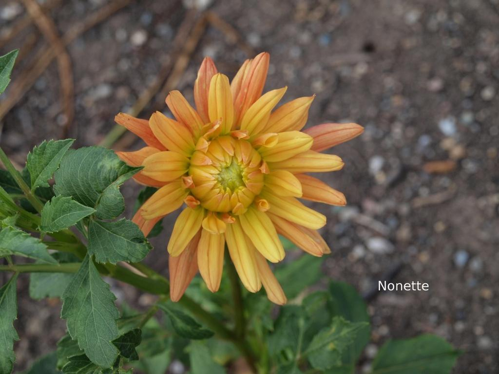 Photo of Waterlily Dahlia (Dahlia 'Nonette') uploaded by frankrichards16