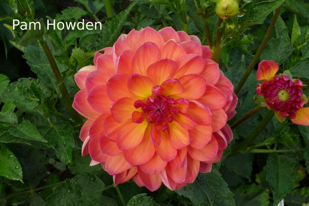 Photo of Dahlia 'Pam Howden' uploaded by frankrichards16