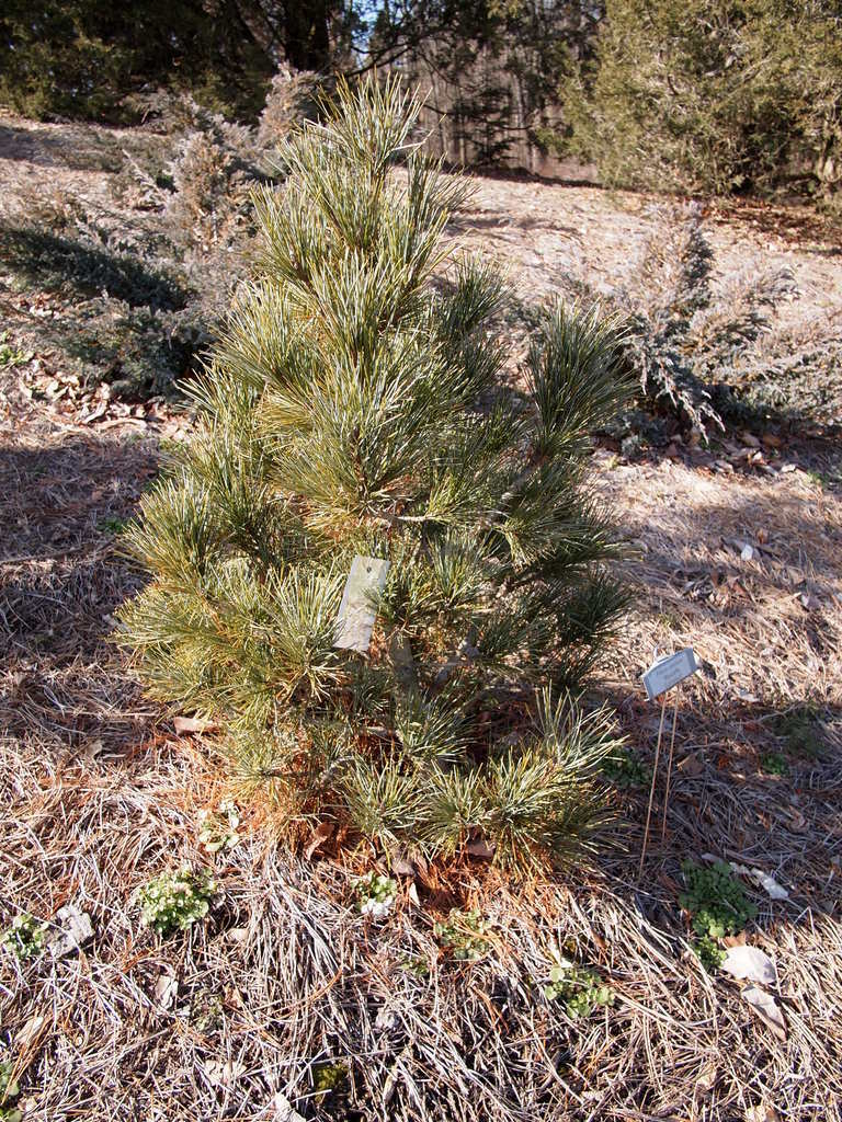 Photo of Swiss Stone Pine (Pinus cembra 'Wycoff's Compact') uploaded by frankrichards16