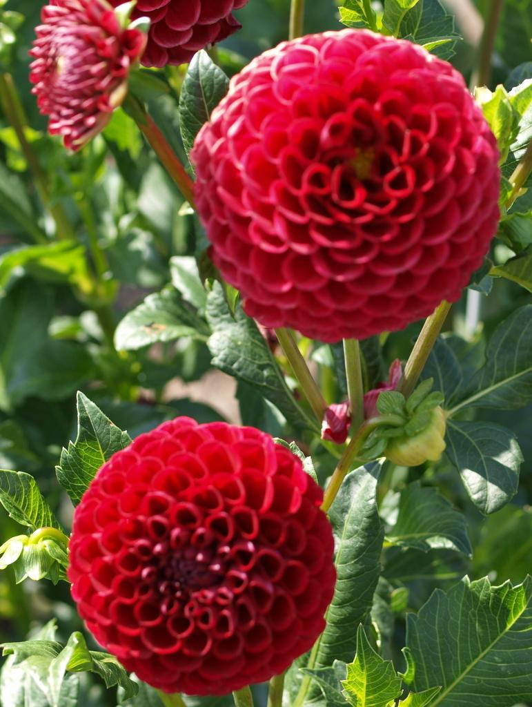 Photo of Dahlia 'Cornel' uploaded by frankrichards16