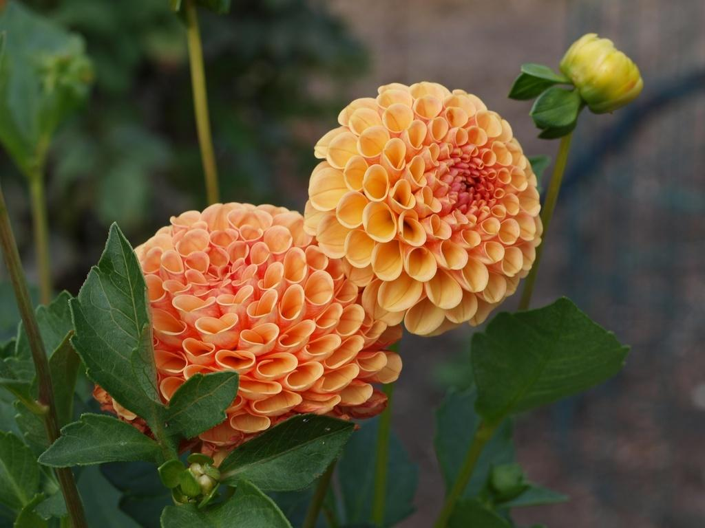 Photo of Dahlia 'Amber Queen' uploaded by frankrichards16