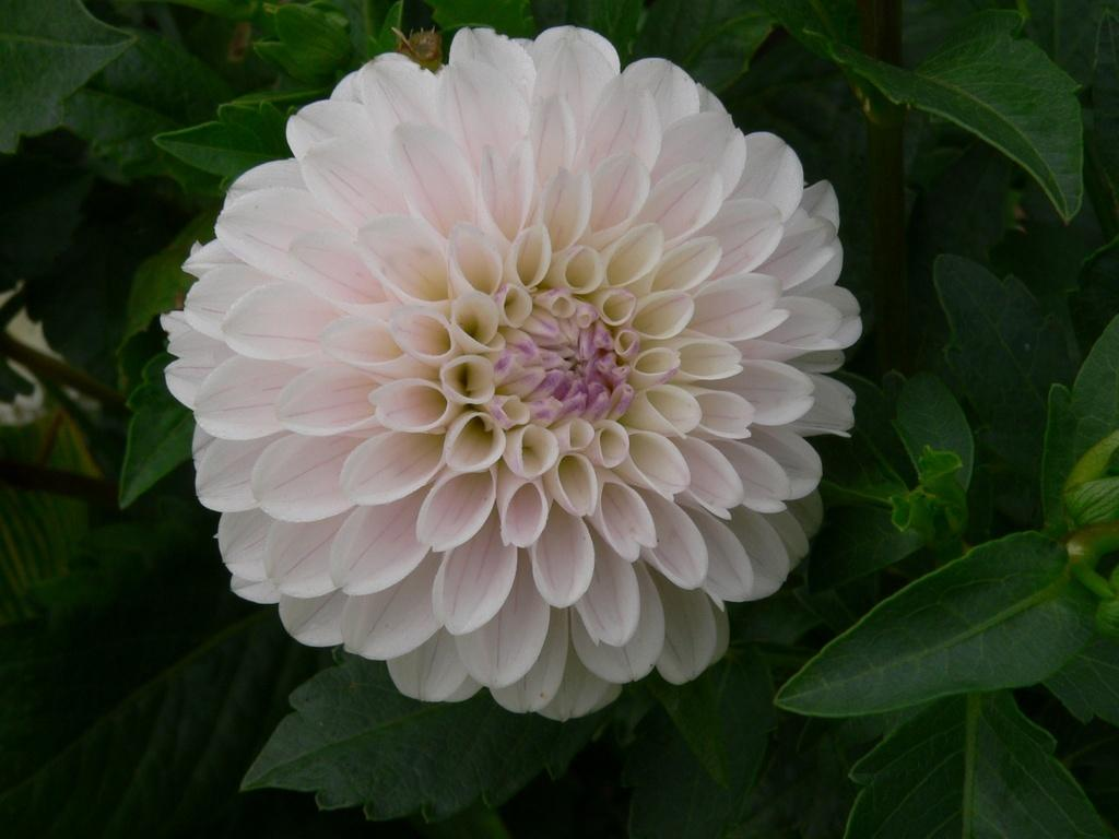 Photo of Formal Decorative Dahlia (Dahlia 'Last Dance') uploaded by frankrichards16