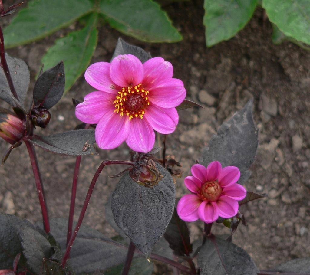 Photo of Dahlia Happy Single® Juliet uploaded by frankrichards16