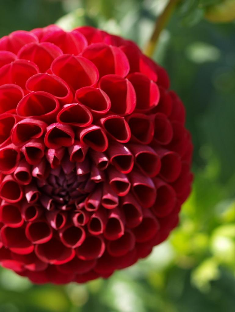 Photo of Ball Dahlia (Dahlia 'Cornel') uploaded by frankrichards16