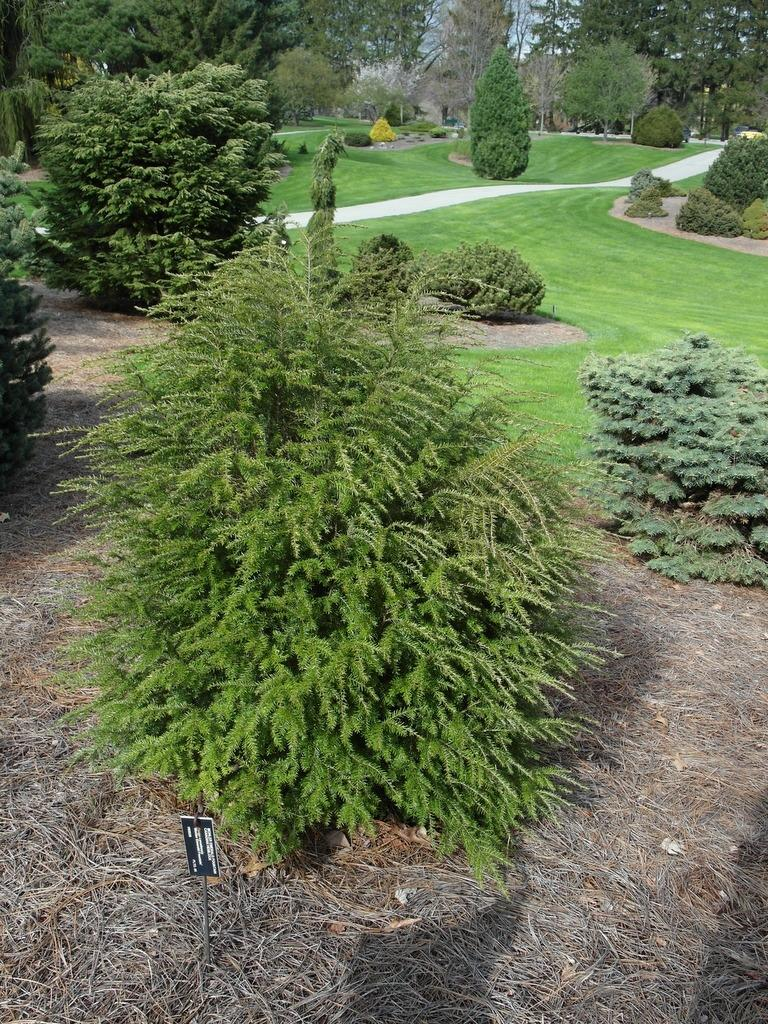 Photo of Tsuga canadensis 'Monler Emerald Fountain' uploaded by frankrichards16