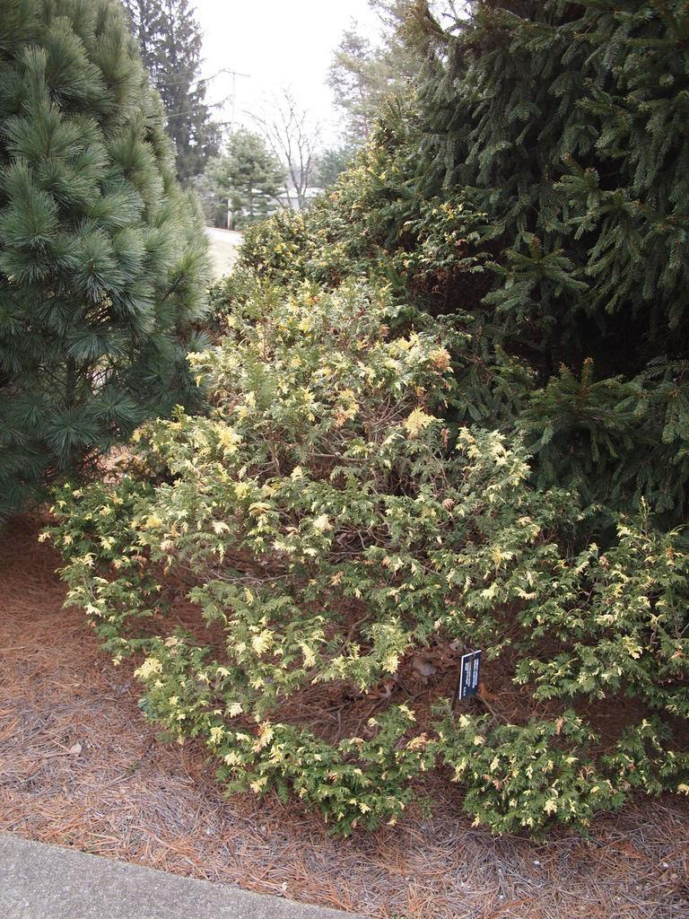 Photo of Sawara False Cypress (Chamaecyparis pisifera 'Compacta Variegata') uploaded by frankrichards16
