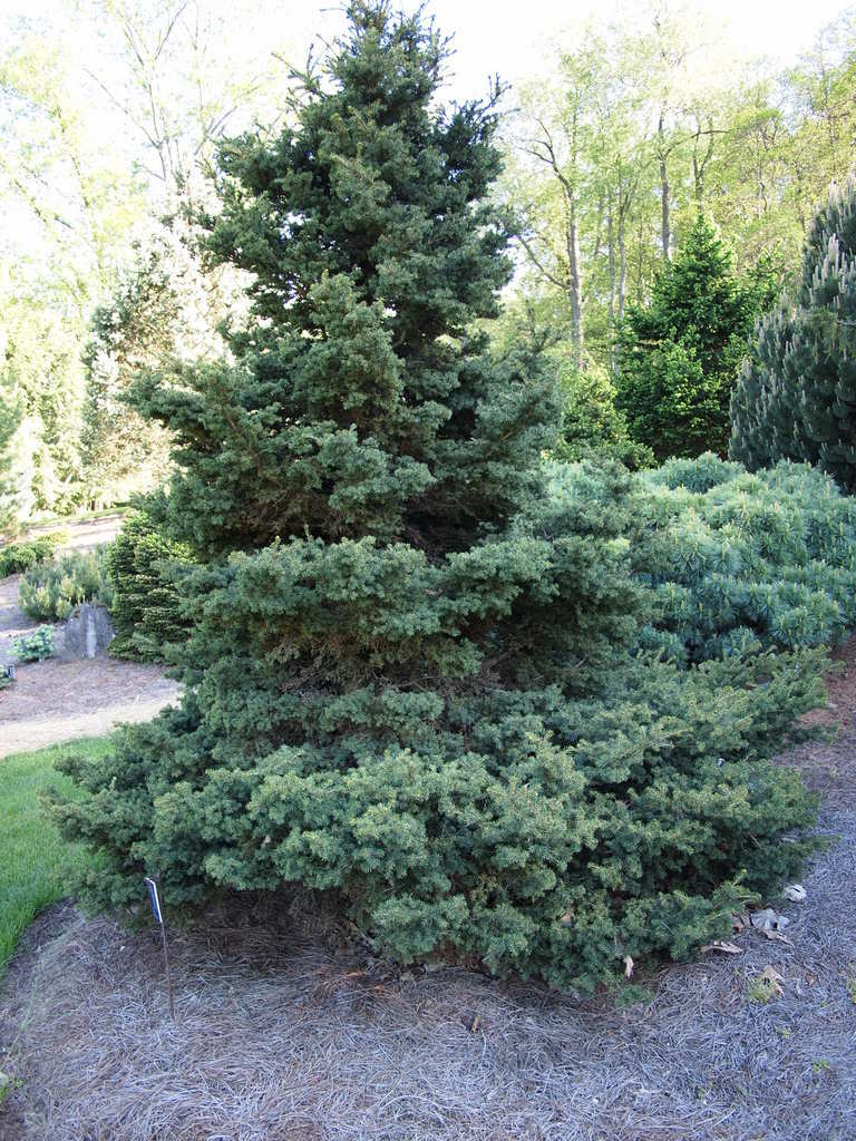 Photo of Red Spruce (Picea rubens 'Pocono') uploaded by frankrichards16