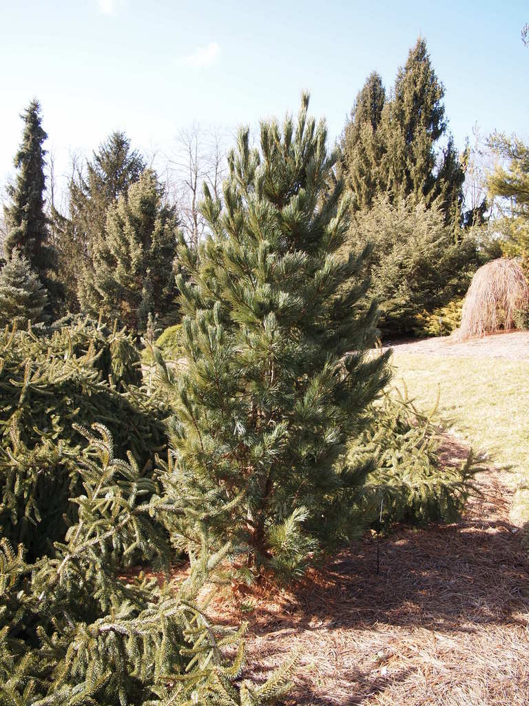 Photo of Eastern White Pine (Pinus strobus 'Glauca Nana') uploaded by frankrichards16