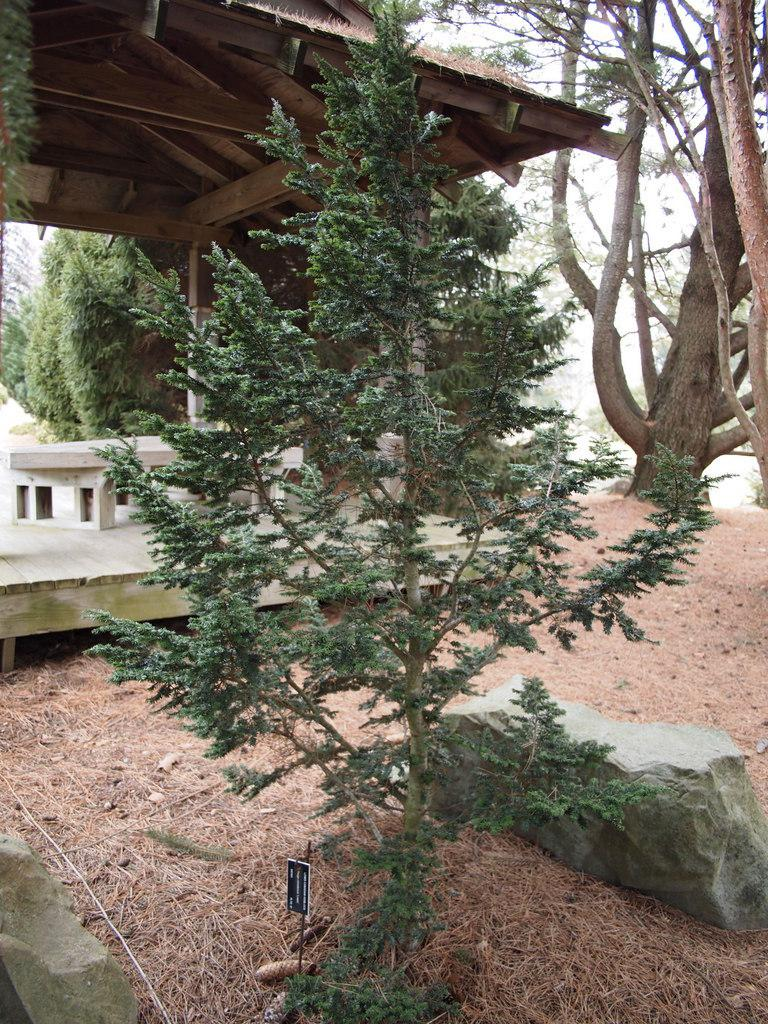 Photo of Canadian Hemlock (Tsuga canadensis 'Lewis') uploaded by frankrichards16