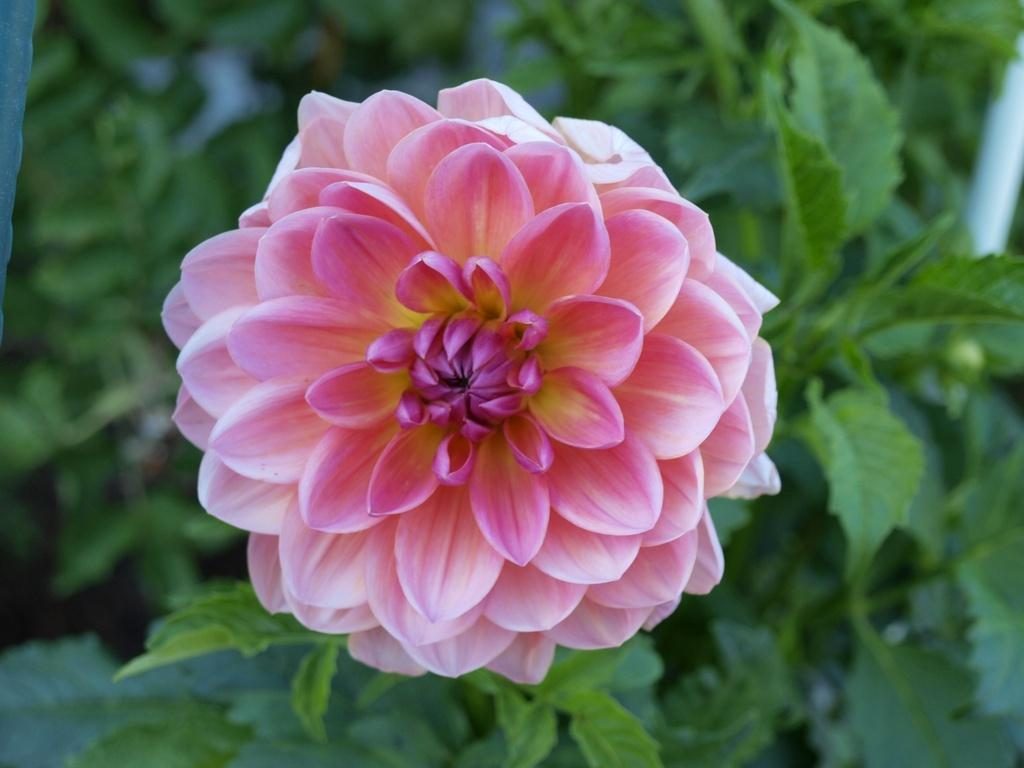 Photo of Infomal Decorative Dahlia (Dahlia 'Excentric') uploaded by frankrichards16