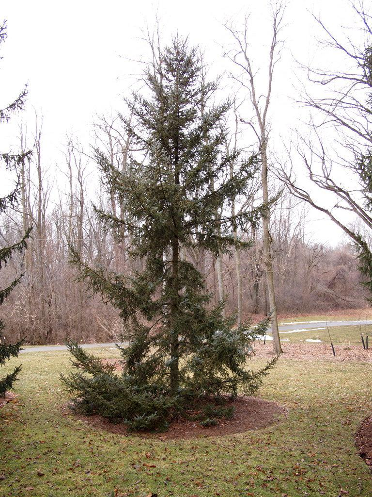Photo of Spruce (Picea bicolor 'Alcock's Spruce') uploaded by frankrichards16