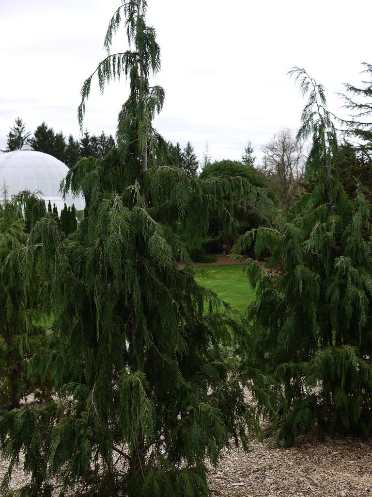 Photo of Nootka Cypress (Xanthocyparis nootkatensis 'Glauca Pendula') uploaded by frankrichards16