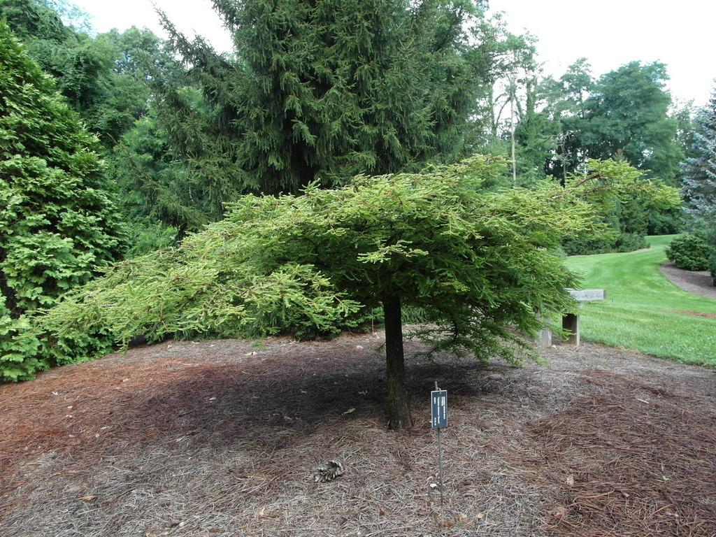 Photo of Bald Cypress (Taxodium distichum var. distichum 'Secrest') uploaded by frankrichards16