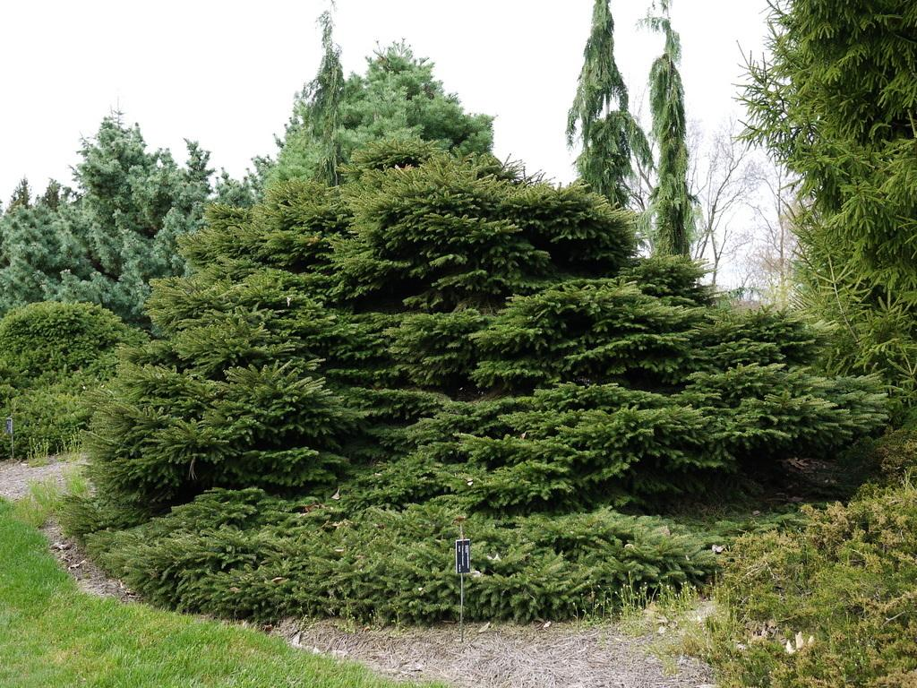 Photo of Norway Spruce (Picea abies 'Sherwoodii') uploaded by frankrichards16
