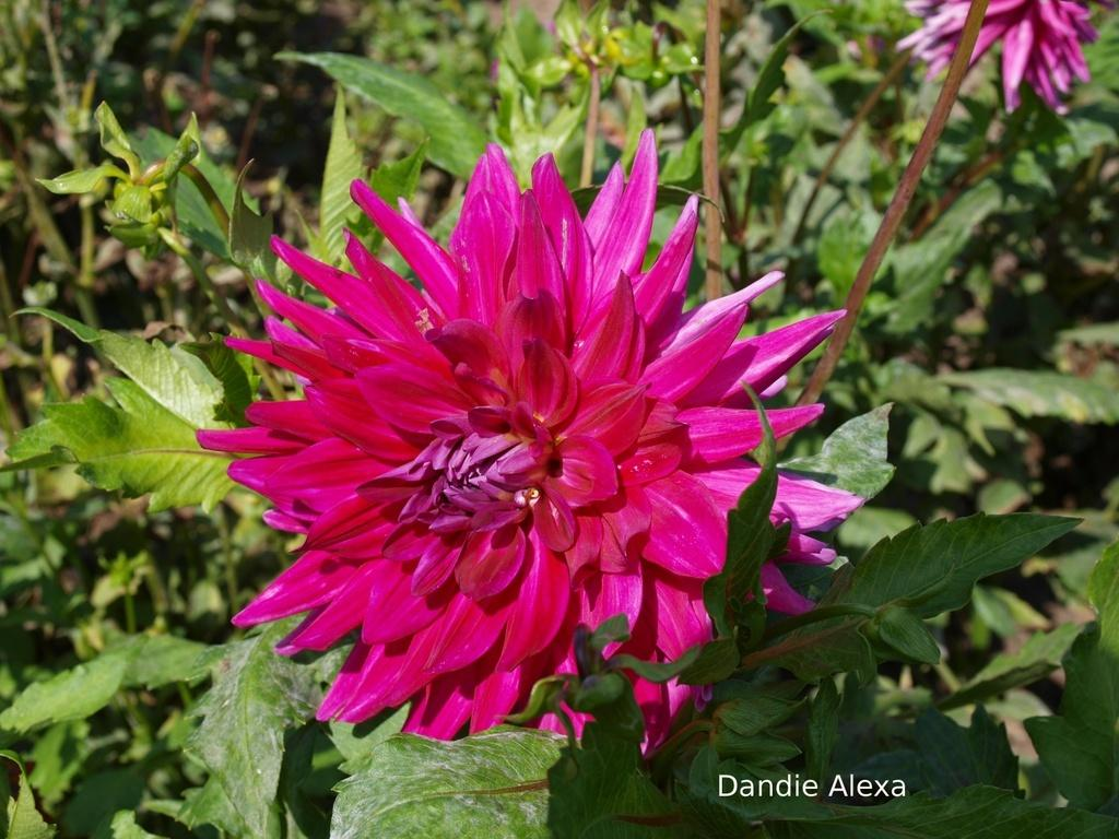 Photo of Dahlia 'Dandie Alexa' uploaded by frankrichards16