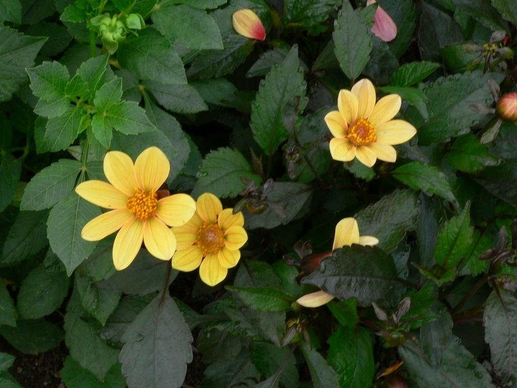 Photo of Dahlia Happy Single® Party uploaded by frankrichards16