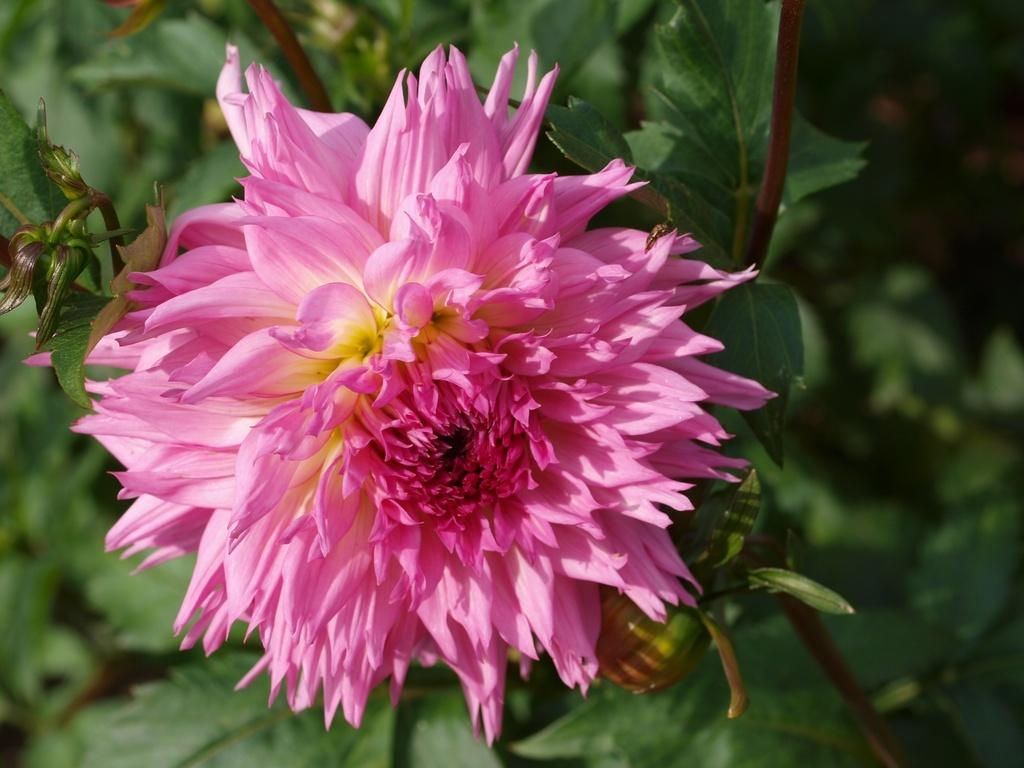 Photo of Dahlia 'Pinelands Cyrowen' uploaded by frankrichards16