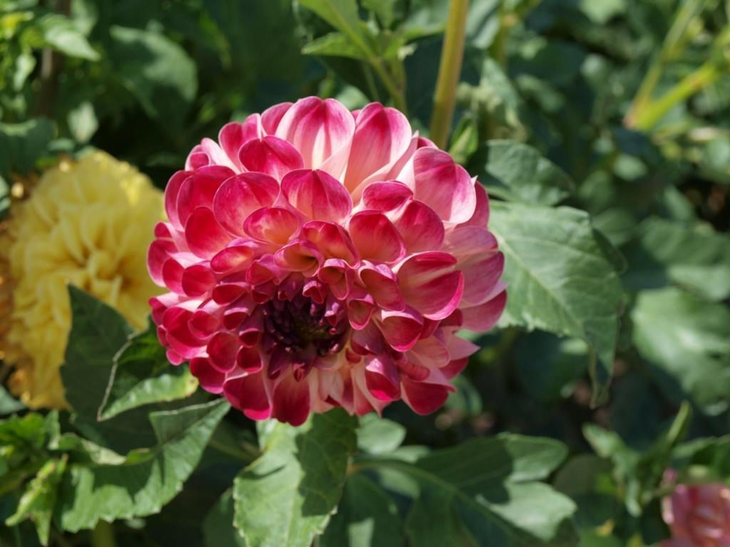 Photo of Ball Dahlia (Dahlia 'Kaiser Wilhelm') uploaded by frankrichards16