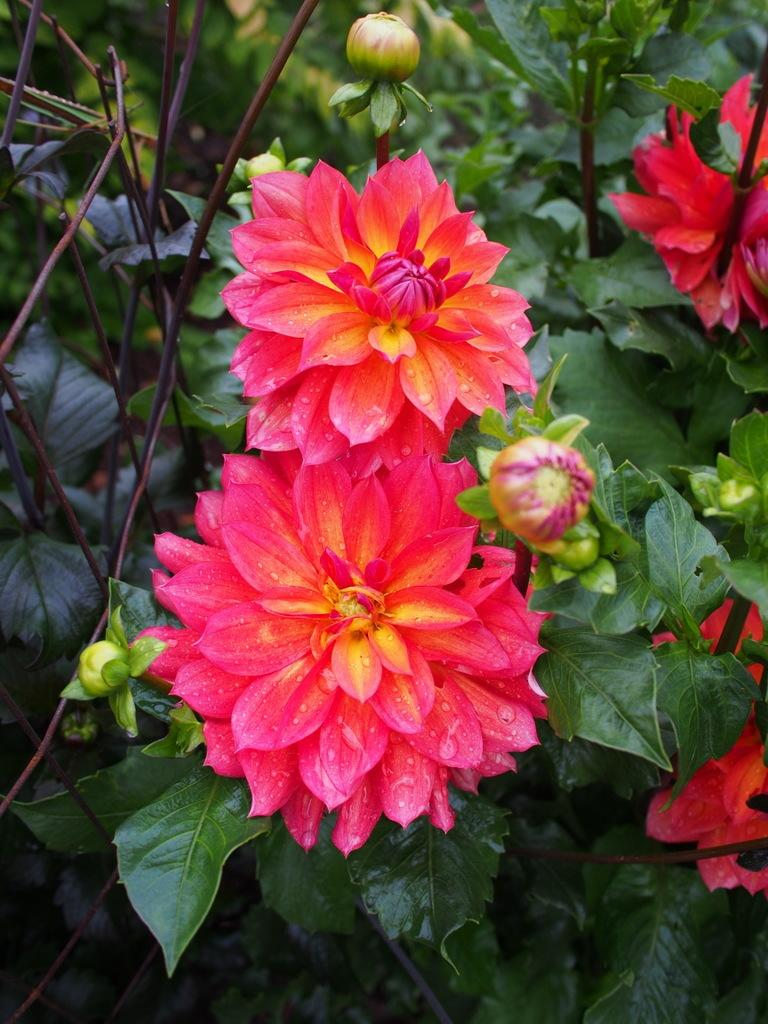 Photo of Waterlily Dahlia (Dahlia 'Firepot') uploaded by frankrichards16