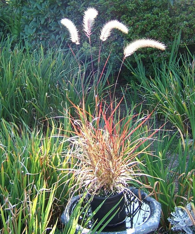 Photo of Purple Fountain Grass (Cenchrus setaceus 'Rubrum') uploaded by pirl