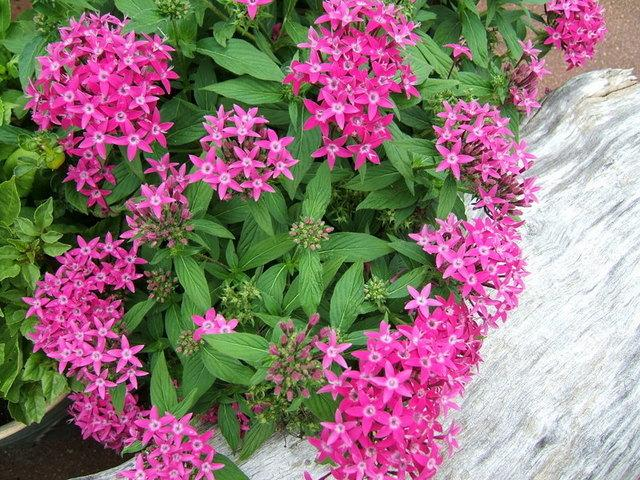 Photo of Star Flower (Pentas lanceolata) uploaded by pirl