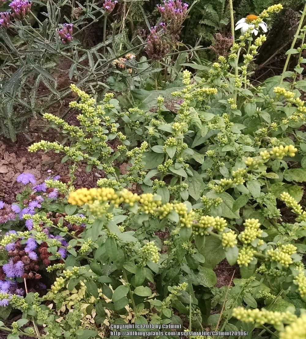 Photo of Goldenrod (Solidago sphacelata 'Golden Fleece') uploaded by Catmint20906
