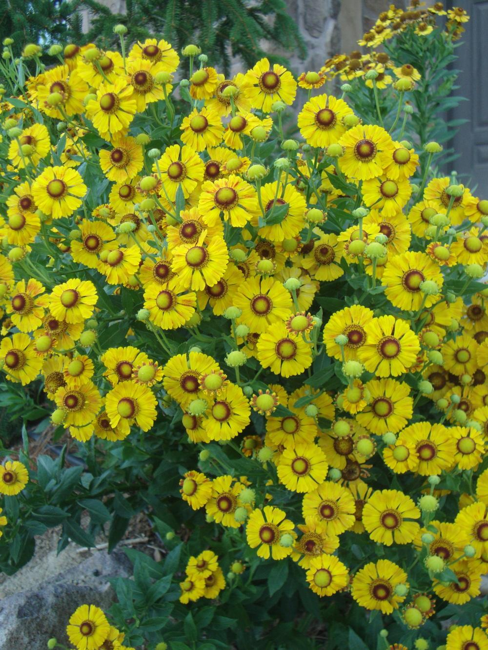 Photo of Helenium uploaded by Paul2032