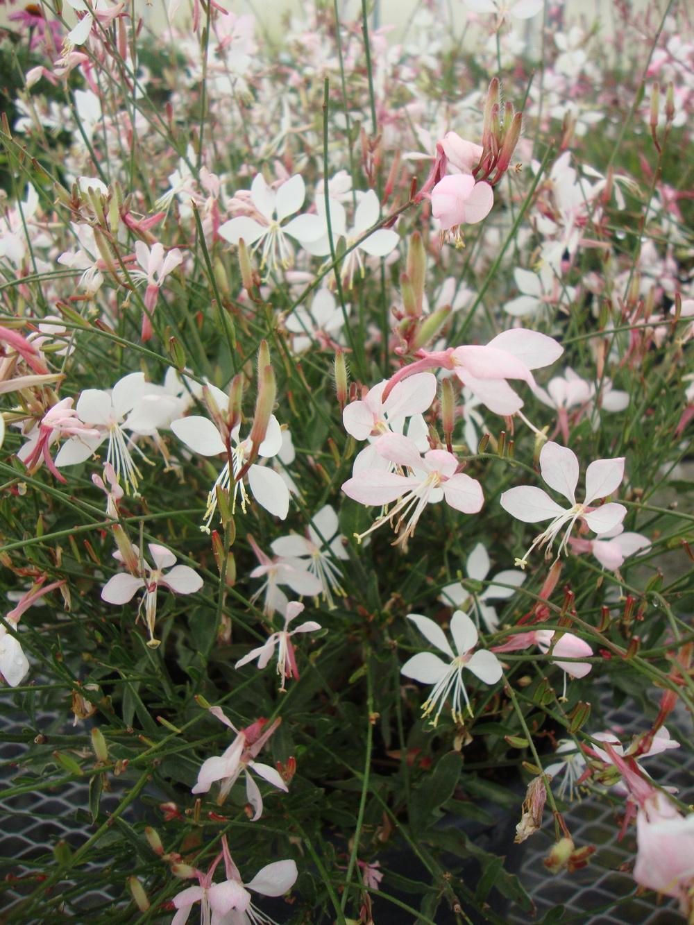 Photo of Appleblossom Grass (Oenothera lindheimeri Stratosphere™ White) uploaded by Paul2032