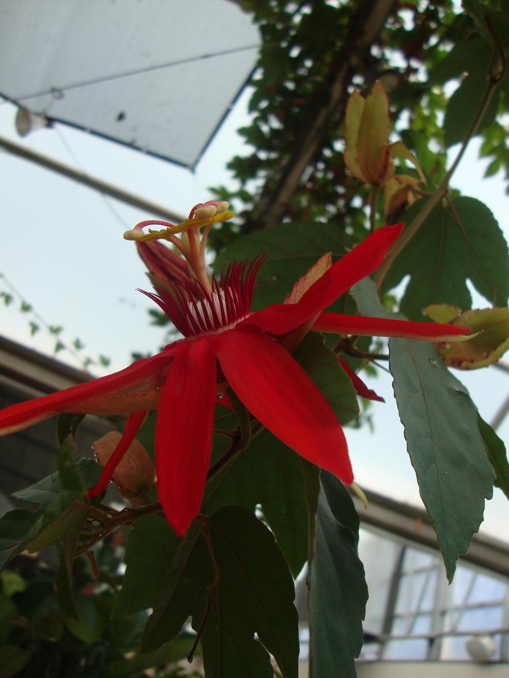 Photo of Red Passion Flower (Passiflora coccinea) uploaded by Paul2032