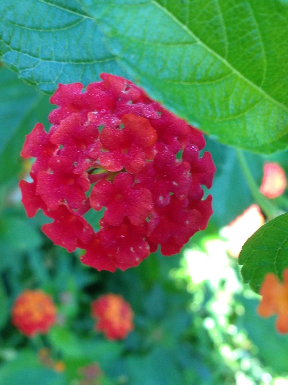 Photo of Lantana (Lantana camara 'Dallas Red') uploaded by SCButtercup