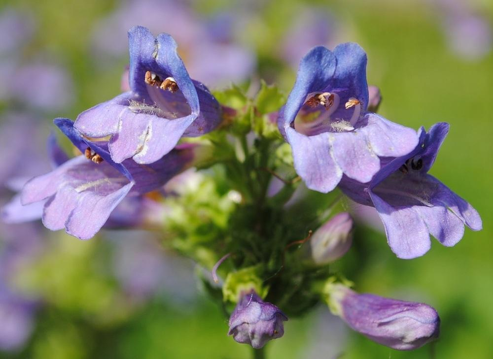 Penstemon stamens, filaments and pistils