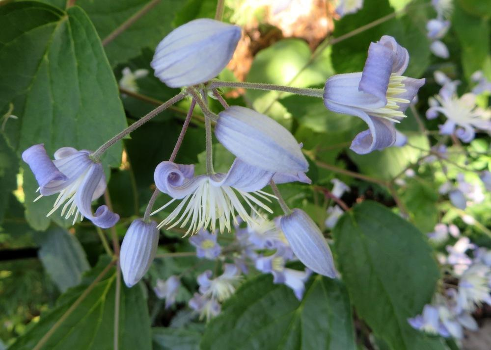Photo of Clematis 'Mrs. Robert Brydon' uploaded by foraygardengirl