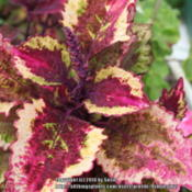 Location: My GardenDate: 2014-08-29This is the color of this coleus in a cool summer, full
