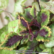 Location: My GardenDate: 2014-08-29These colors of this coleus in the shade.