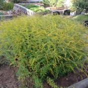 Location: Hamilton Square Perennial Garden, Historic City Cemetery, Sacramento CA.Date: 2014-08-29This goldenrod cultivars name is spot on.