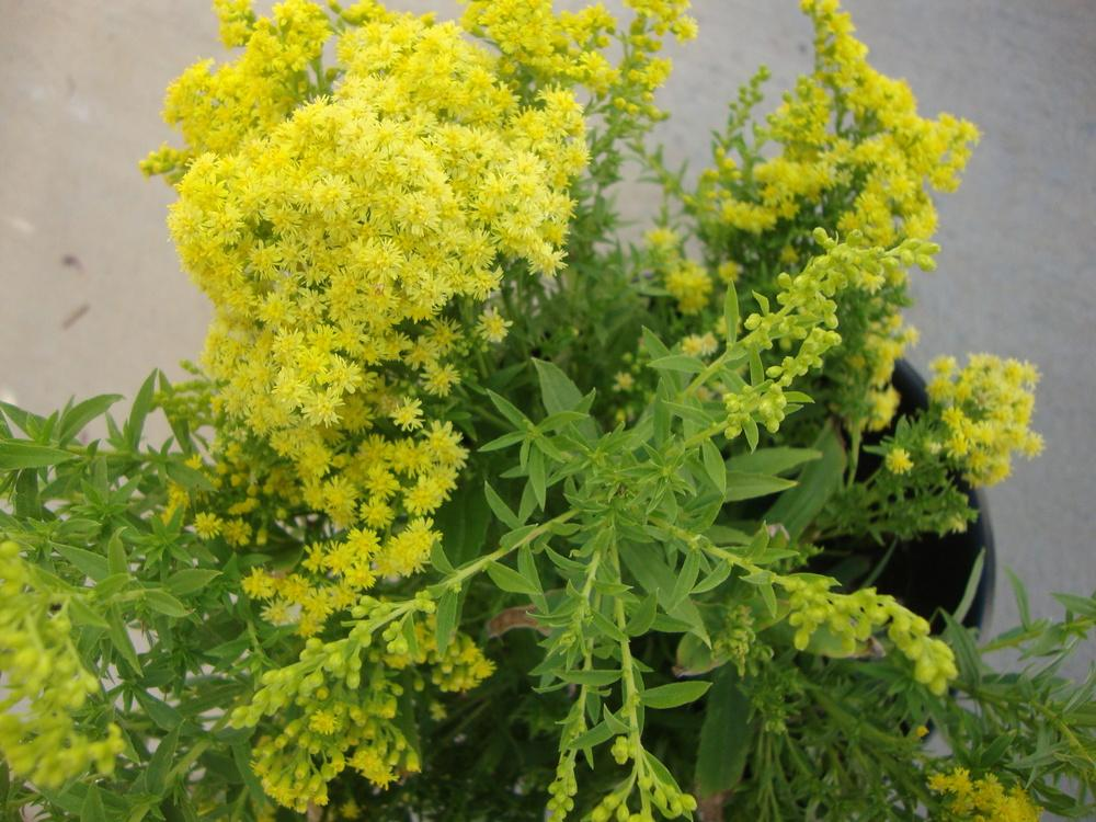 Photo of Goldenrod (Solidago Little Lemon) uploaded by Paul2032