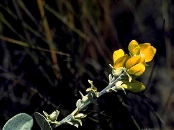Photo of Wooly Wild Indigo (Baptisia arachnifera) uploaded by SongofJoy